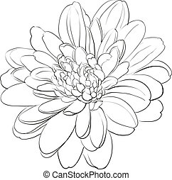 Chrysanthemum flower on white background Vector illustration...