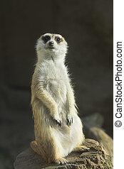 Suricatta - One suricatta standing. Dark background....