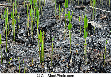 Revival after fire 4 - The close-up of young plantlets after...