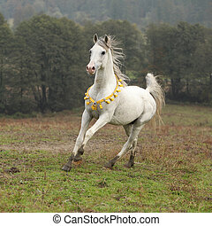 Nice white arabian stallion with flying mane running on...