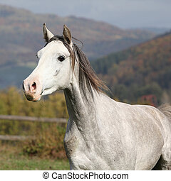 Nice grey arabian stallion with flying mane running on...