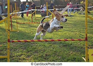 Beagle bitch is jumping an obstacle outdoors