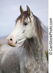Nice arabian stallion with long mane in autumn - Nice grey...