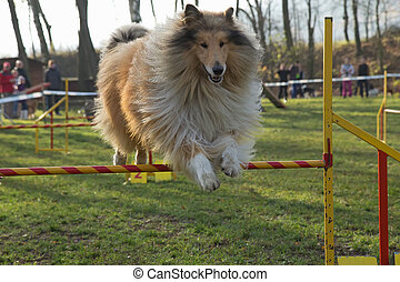 Collie Rough dog is jumping an obstacle outdoors.