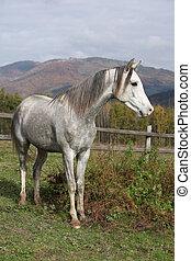 Nice grey arabian stallion standing on autumn pasturage