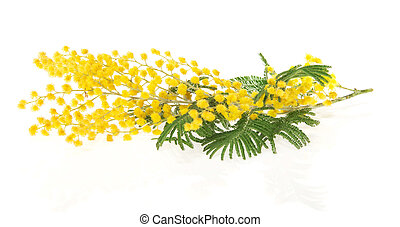 Branch of mimosa - The branch of a mimosa isolated on white
