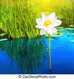 Lotus - Beautiful lotus flower in lake