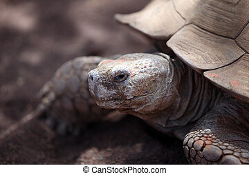 turtle - the head of a giant galapagos brown turtle