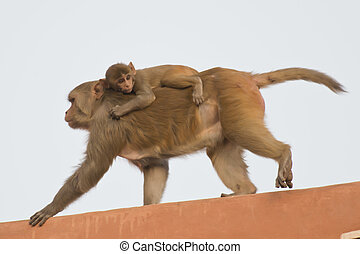 Rhesus Macaque and its Cub - Rhesus macaque and its cub on...
