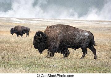 bizon, amerykanka,  bison),  (bison
