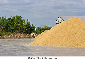 Stack paddy rice on a dring.