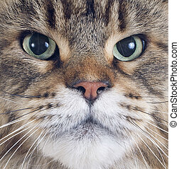 maine coon cat - portrait of a purebred maine coon cat on a...