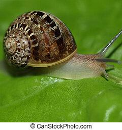 Snail slug on a lettuce leaf