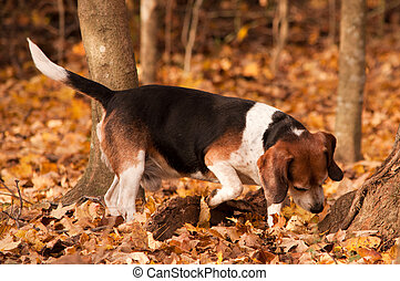 Hunting Beagle - A beagle hunts in the woods.
