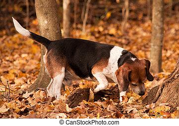 caça, beagle
