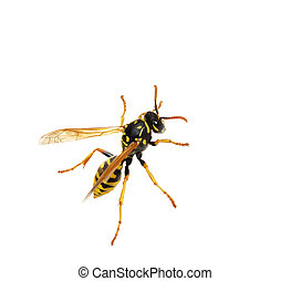 Wasp - Close-up of a wasp isolated over white background.