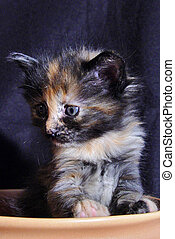 Turkish Angora Cat - kitten of a turkish angora cat