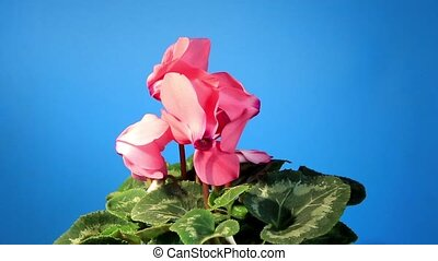 Flowering pink cyclamen on the black background Cyclamen...