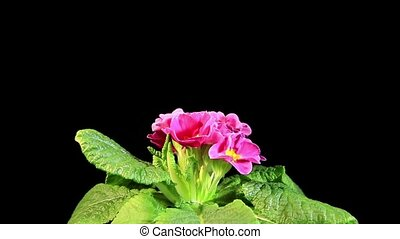 Flowering pink primula on the black background Primula...