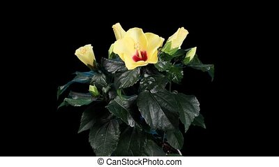 Blooming yellow Hibiscus flower bud