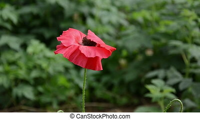 red poppy flower bloom - closeup of beautiful red poppy...