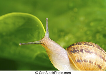 Over the edge - A snail on the edge of a leaf
