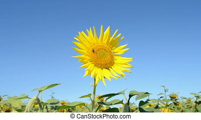 Sunflower on blue sky, environment