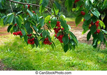 Cherry tree branches with cherries - Beautiful bright photo...