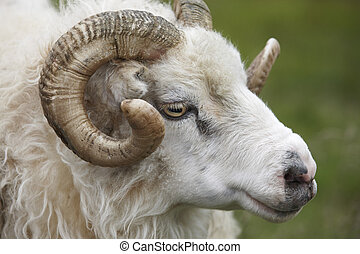 Closeup of one Icelandic Big Horn Sheep. Seydisfjordur. -...