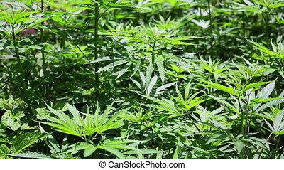 Marijuana farm in Kathmandu, Nepal - Green cannabis at...