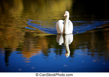 Swan in Color - Mute swan swimming in the lake on a...