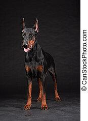 perro, tiro, Doberman, estudio, hembra, retrato, negro,...