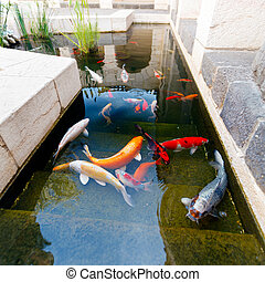 Fishes of Koi Pond  - Koi Pond with Japan Colorful Carps