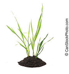 Sprouts of wheat grow from the earth on a white background