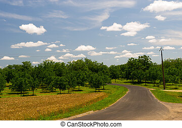 Walnut trees in France