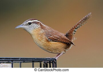 Carolina Wren On A Suet Feeder - Carolina Wren Thryothorus...