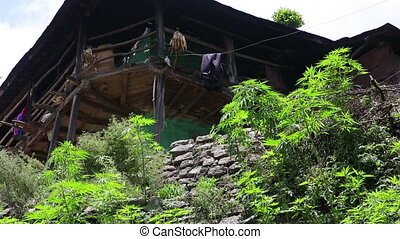 Marijuana farm in front of farmer's home, Nepal Kathmandu.