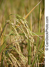 spike rice - asia golden spike rice in farm