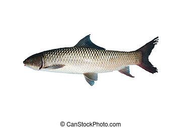Freshwater fish isolated on white background
