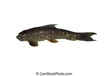 Freshwater fish isolated on white background, Garra...