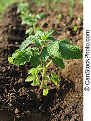 Young plant of tomato