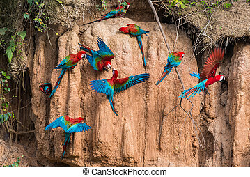 macaws in clay lick in the peruvian Amazon jungle at Madre...