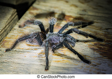 black tarantula in the peruvian Amazon jungle at Madre de...