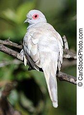 Diamond Dove Fawn - Fawn mutation of a Diamond Dove perched...