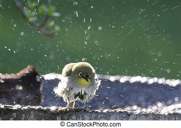 Bird Bath - Small white-eye bird enjoying a bath in the sun