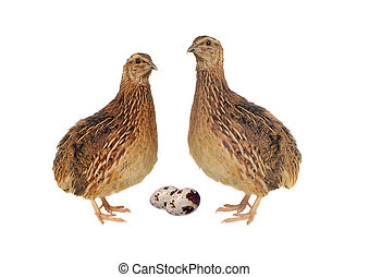 quail - Adult quail with its eggs isolated on white...