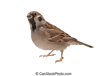 sparrow n a white background