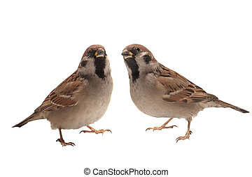 two sparrow ?n a white background