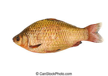 gold carp isolated on white background