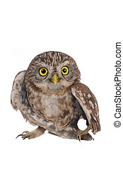Owl - brownie  horned owl on a white background